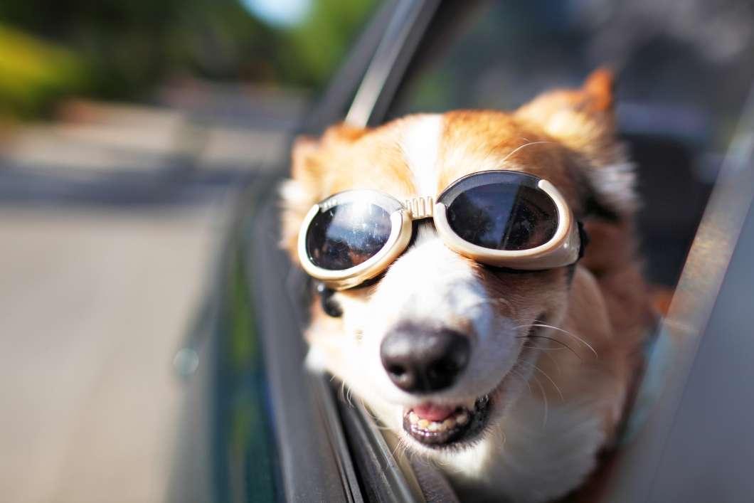 Dog Riding in Car